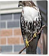 Beautiful Red-tail Canvas Print