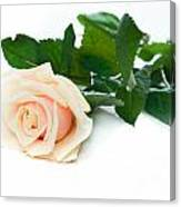 Beautiful Rose On White Canvas Print