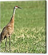 Beautiful Sandhill Crane Canvas Print