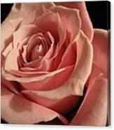 Beautiful Peach Rose Canvas Print