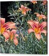Beautiful Tiger Lilies Canvas Print