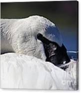 Beautiful Trumpeter Swan Canvas Print