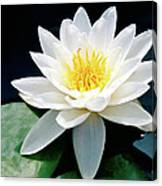 Beautiful Water Lily Capture Canvas Print