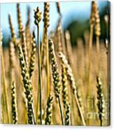 Beautiful Wheat Canvas Print