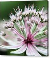 Beautiful White And Pink Buds Canvas Print