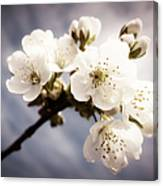 Beautiful White Blossoms Canvas Print