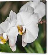 Beautiful White Orchids Flower Bloom Canvas Print