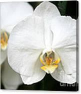 Beautiful White Phanaenopsis Orchids Canvas Print