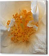 Beautiful White Rose Canvas Print