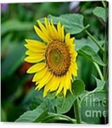 Beautiful Yellow Sunflower In Full Bloom Canvas Print