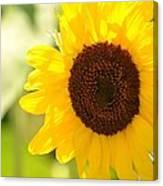 Beauty Beheld - Sunflower Canvas Print