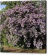 Beauty Bush (kolkwitzia Amabilis) Canvas Print