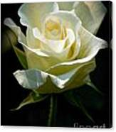 Beauty  Of A Rose Canvas Print