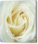 Beauty Of A White Rose Canvas Print