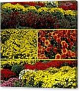 Beauty Of The Fall Mums Canvas Print