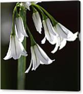 Beauty Of The Snowdrops Canvas Print