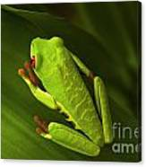 Beauty Of Tree Frogs Costa Rica 6 Canvas Print