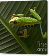 Beauty Of Tree Frogs Costa Rica 8 Canvas Print