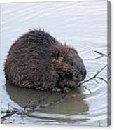 Beaver Chewing On Twig Canvas Print