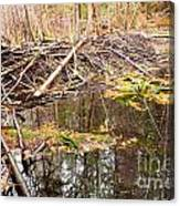 Beaver Dam In Fall Colored Forest Wetland Swamp Canvas Print