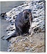 Beaver Sharpens Stick Canvas Print