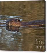 Beaver Swimming Canvas Print
