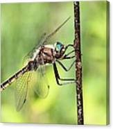 Beaverpond Baskettail Dragonfly Canvas Print