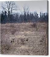Bedded Whitetail Deer Canvas Print