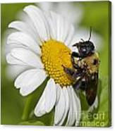 Bee And Daisy Canvas Print