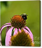 Bee And Echinacea Flower Canvas Print