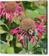Bee Balm 5 Canvas Print