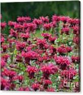 Bee Balm Bounty Canvas Print