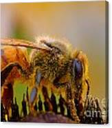 Bee Covered In Pollen Canvas Print