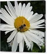 Bee Daisy Canvas Print