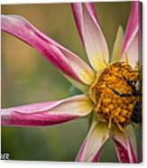 Bee Enjoying A Willie Willie Dahlia Canvas Print