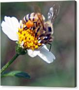 Bee- Extracting Nectar Canvas Print