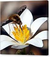 Bee Fly And Bloodroot Canvas Print