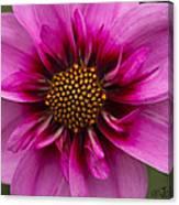 Bee Happy Dahlia Canvas Print