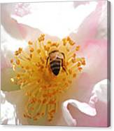 Bee In Camellia Canvas Print