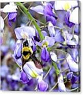 Bee In The Wisteria Canvas Print
