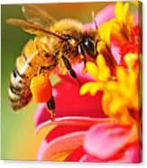 Bee Laden With Pollen Canvas Print