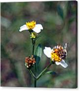 Bee- Nectar Canvas Print