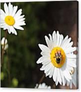 Bee On A Daisy 2 Canvas Print