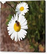 Bee On A Daisy Canvas Print