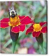 Bee On A Marigold 2 Canvas Print