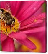 Bee On A Pink Daisy Canvas Print