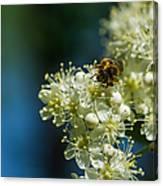 Bee On A Rowan Flower - Featured 3 Canvas Print