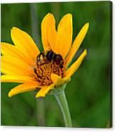 Bee On A Smooth Oxeye Canvas Print