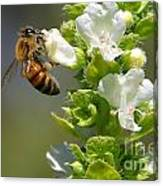Bee On Basil Canvas Print