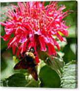 Bee On Bee Balm Flower Canvas Print